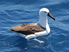 Yellow-nosed Albatross CW.jpg