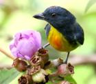 Фотография сине-серой птицы с ярко-оранжевым и желтым низом возле розового цветка.
