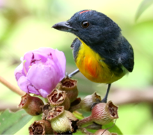 Yellow-rumped Flowerpecker 2.png