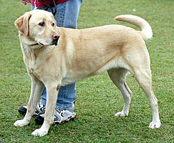 Labrador Retriever - Wikipedia bahasa Indonesia, ensiklopedia bebas