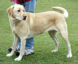 A yellow Labrador retriever. Labradors come in...