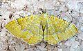 Yellow shell. Camptogramma bilineata bilineata - Flickr - gailhampshire.jpg