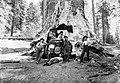 Yosemite Nemzeti Park, a Tunnel Tree nevű óriás mamutfenyő (Sequoiadendron giganteum). Fortepan 70454.jpg