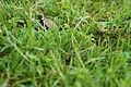 Young bog turtle (18553719178).jpg