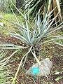 Yucca baccata - Jardin d'oiseaux tropicaux - DSC04976.JPG