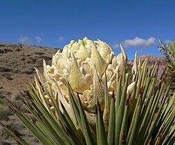 Yucca brevifolia 13.jpg