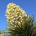 Yucca brevifolia inflorescence.jpg