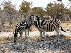 Zèbres de Burchell, au parc national d'Etosha, en Namibie