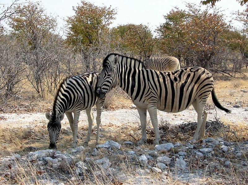 File:Zebras etoscha.jpg
