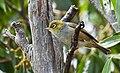 Zosterops lateralis -Tasmania-8.jpg