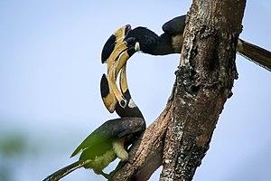 Dandeli Wildlife Sanctuary - Malabar pied hornbills at Dandeli Wildlife Sanctuary
