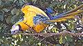 """arara-canindé"" - Ara ararauna - se alimentando de frutos e sementes de jatobá - Hymenaea courbaril 01.jpg"