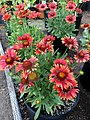 'Arizona Red Shades' Gaillardia IMG-8407.jpg