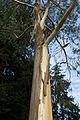 'Eucalyptus pauciflora' niphophila - Beale Arboretum - West Lodge Park - Hadley Wood - Enfield, London.jpg