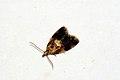 (1011) Pseudargyrotoza conwagana (3505437932).jpg