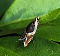 (1126) Ancylis badiana (6072528648).jpg