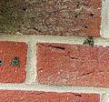 (1760) Red-green Carpet (Chloroclysta siterata) (22062006106).jpg