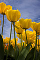 (2) Tulips at Skagit Valley Bulb Farm.jpg