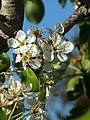 (ALB) P. communis - flower-3.jpg