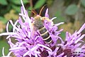 (Best guess) Six-belted clearwing (NH playground) (10686560986).jpg