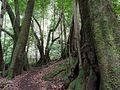 Árboles viejos en la selva virgen Los Tilos.jpg