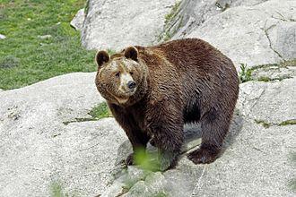 Ähtäri Zoo - Brown bear at Ähtäri