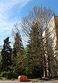 Група екзотичних дерев платана та смереки 03.JPG