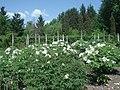 Деревоподібний піон (Paeonia suffruticosa Andr.) у ботанічному саду ЖНАЕУ.jpg