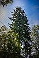 Дерево Ялини колючої.jpg