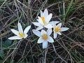 Квітка весни.JPG