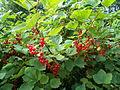 Красная смородина 2012 01.JPG