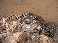 Негативний вплив антропогенних факторів. Гніздо канюка монгольського (Buteo hemilasius) побудоване із сміття.jpg