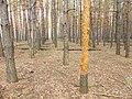 Плантация кедро-сосны, Воронеж 03.jpg
