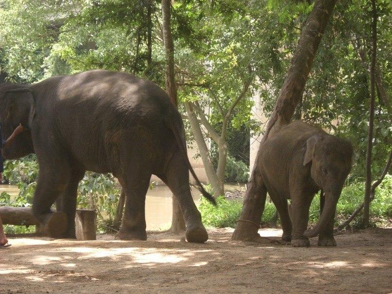 Слонёнок азиатского слона. Таиланд