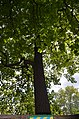 Тюльпанове дерево зростає у Кам'янець-Подільському.jpg