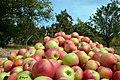 برداشت سیب مشهد - panoramio.jpg