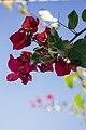گل کاغذی- Bougainvillea 15.jpg