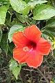 ชบา Hibiscus rosa-sinensis L. Photographs by Peak Hora (15).jpg
