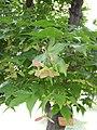イロハモミジ 葉と実 - panoramio.jpg