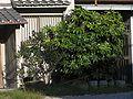 ヤツデ,八つ手、Fatsia japonica8240001.jpg