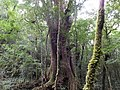 司馬庫斯巨木群 Smangus Giant Trees - panoramio.jpg