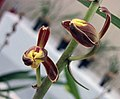 報歲一品紅梅 Cymbidium sinense 'First Class Red Prune' -香港沙田國蘭展 Shatin Orchid Show, Hong Kong- (12205176656).jpg