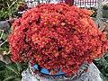 士林官邸菊展 Chrysanthemum Show at Shilin Official Residence - panoramio.jpg