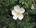 密刺薔薇 Rosa pimpinellifolia -哥本哈根大學植物園 Copenhagen University Botanical Garden- (36518762470).jpg
