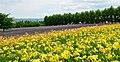 富良野 富田農場 - panoramio.jpg