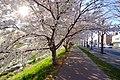 新川さくら並木(Shinkawa cherry trees) - panoramio (5).jpg