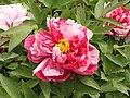 日本牡丹-島錦 Paeonia suffruticosa Shima-nishiki -洛陽神州牡丹園 Luoyang, China- (12452319573).jpg