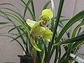 春蘭黃荷 Cymbidium goeringii 'Yellow Lotus' -香港沙田國蘭展 Shatin Orchid Show, Hong Kong- (12317105304).jpg