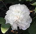 牡丹-昆山夜光 Paeonia suffruticosa 'Kun-Shan Luminosity' -菏澤百花園 Heze, China- (12452664994).jpg