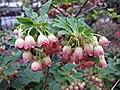 紅脈吊鐘花 Enkianthus campanulatus -比利時 Ghent University Botanical Garden, Belgium- (9207631490).jpg